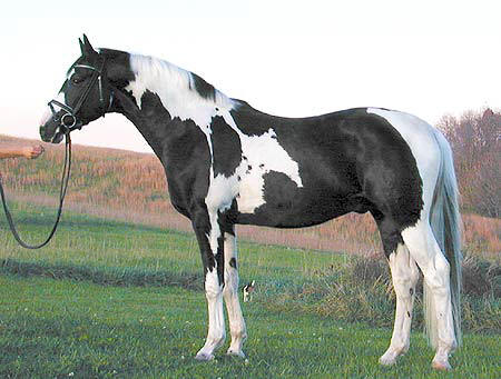 Black And White Paint Horse For Sale Australia